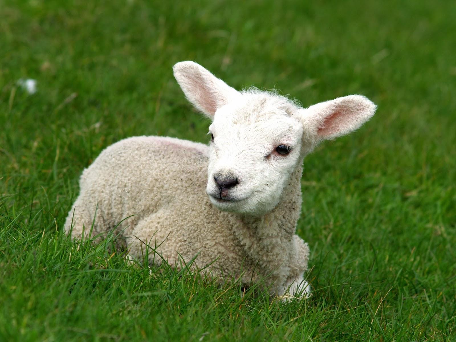 Sheep 1-1
